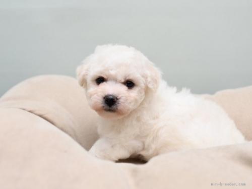 ビションフリーゼの子犬(ID:1263011020)の1枚目の写真/更新日:2017-05-20