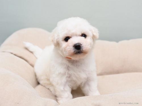 ビションフリーゼの子犬(ID:1263011020)の2枚目の写真/更新日:2017-05-20
