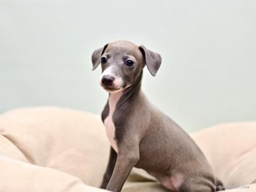 イタリアングレーハウンドの子犬(ID:1263011022)の2枚目の写真/更新日:2019-09-16