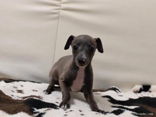 イタリアングレーハウンドの子犬(ID:1263011022)の2枚目の写真/更新日:2017-12-13