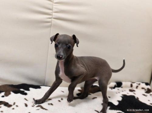 イタリアングレーハウンドの子犬(ID:1263011022)の4枚目の写真/更新日:2019-09-16
