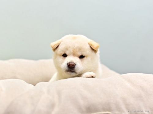 柴犬の子犬(ID:1263011023)の1枚目の写真/更新日:2018-08-27