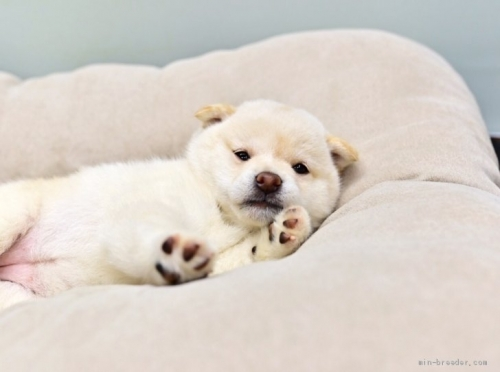 柴犬の子犬(ID:1263011023)の2枚目の写真/更新日:2018-08-15
