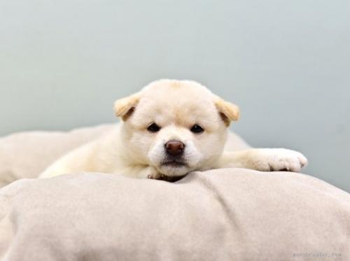 柴犬の子犬(ID:1263011023)の3枚目の写真/更新日:2018-08-27