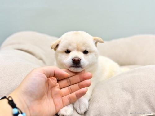 柴犬の子犬(ID:1263011023)の4枚目の写真/更新日:2018-08-27