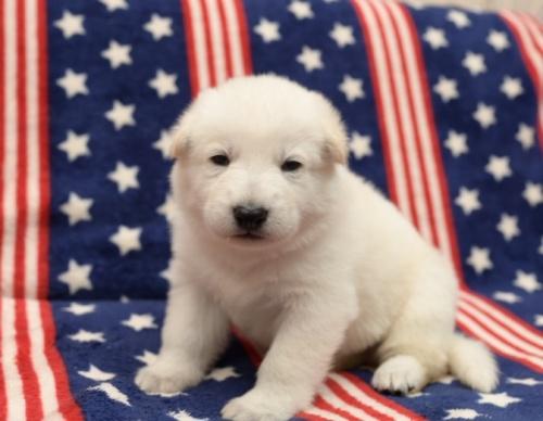 ホワイト・シェパードの子犬(ID:1263011027)の1枚目の写真/更新日:2019-02-18