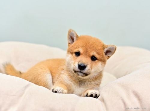 柴犬の子犬(ID:1263011033)の1枚目の写真/更新日:2018-08-15