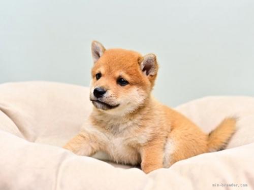 柴犬の子犬(ID:1263011033)の2枚目の写真/更新日:2018-08-15