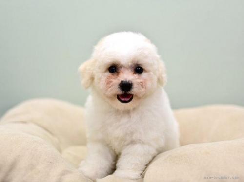 ビションフリーゼの子犬(ID:1263011034)の2枚目の写真/更新日:2020-10-07