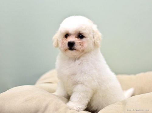 ビションフリーゼの子犬(ID:1263011034)の3枚目の写真/更新日:2018-10-29