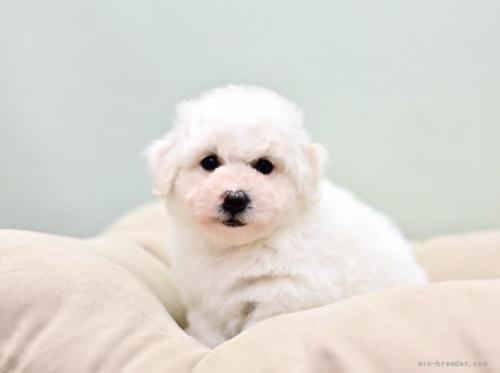 ビションフリーゼの子犬(ID:1263011035)の1枚目の写真/更新日:2019-09-21