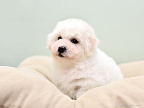 ビションフリーゼの子犬(ID:1263011035)の2枚目の写真/更新日:2019-09-21