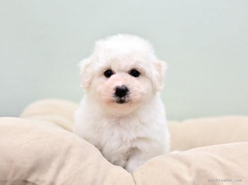 ビションフリーゼの子犬(ID:1263011035)の3枚目の写真/更新日:2021-04-28