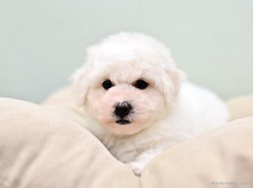 ビションフリーゼの子犬(ID:1263011035)の4枚目の写真/更新日:2021-04-28