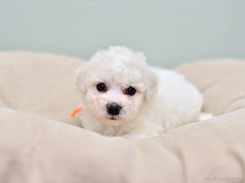 ビションフリーゼの子犬(ID:1263011039)の3枚目の写真/更新日:2019-02-24