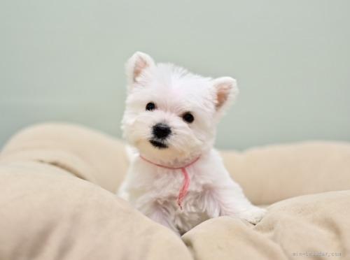 ウエストハイランドホワイトテリアの子犬(ID:1263011045)の1枚目の写真/更新日:2018-07-30