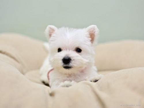 ウエストハイランドホワイトテリアの子犬(ID:1263011045)の2枚目の写真/更新日:2018-07-30