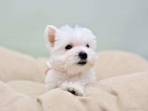 ウエストハイランドホワイトテリアの子犬(ID:1263011045)の3枚目の写真/更新日:2018-07-30