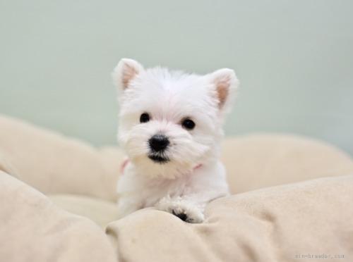 ウエストハイランドホワイトテリアの子犬(ID:1263011045)の4枚目の写真/更新日:2019-05-29