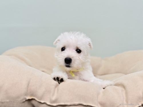 ウエストハイランドホワイトテリアの子犬(ID:1263011046)の1枚目の写真/更新日:2018-07-30