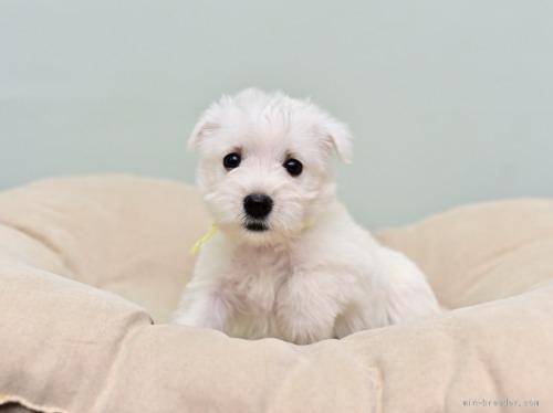 ウエストハイランドホワイトテリアの子犬(ID:1263011046)の2枚目の写真/更新日:2019-05-29