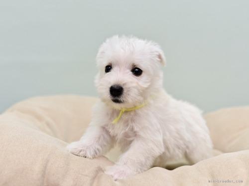 ウエストハイランドホワイトテリアの子犬(ID:1263011046)の3枚目の写真/更新日:2019-05-29