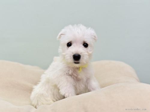ウエストハイランドホワイトテリアの子犬(ID:1263011046)の4枚目の写真/更新日:2019-05-29