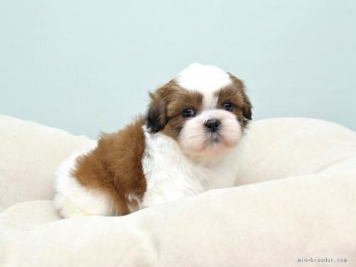 シーズーの子犬(ID:1263011047)の1枚目の写真/更新日:2018-03-09