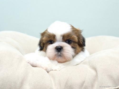 シーズーの子犬(ID:1263011047)の2枚目の写真/更新日:2018-03-09