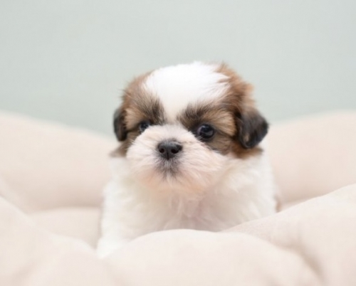 シーズーの子犬(ID:1263011049)の1枚目の写真/更新日:2018-03-09
