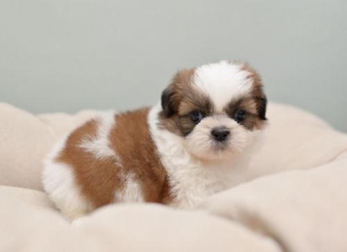 シーズーの子犬(ID:1263011049)の2枚目の写真/更新日:2018-03-09