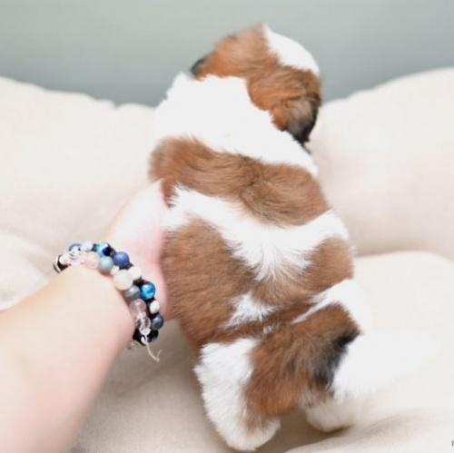 シーズーの子犬(ID:1263011049)の3枚目の写真/更新日:2018-03-09