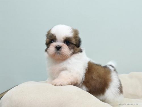シーズーの子犬(ID:1263011050)の2枚目の写真/更新日:2019-06-06