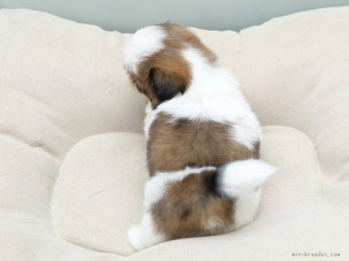 シーズーの子犬(ID:1263011050)の4枚目の写真/更新日:2019-06-06