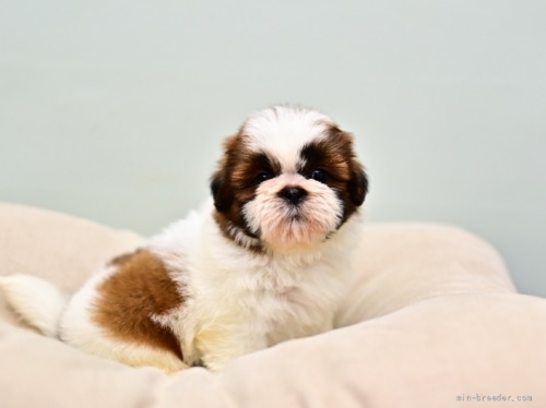 シーズーの子犬(ID:1263011052)の4枚目の写真/更新日:2021-09-08