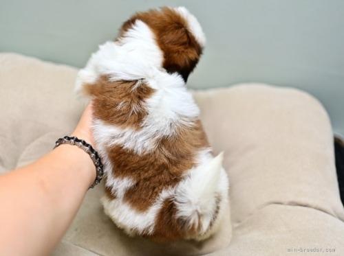 シーズーの子犬(ID:1263011052)の5枚目の写真/更新日:2021-09-08