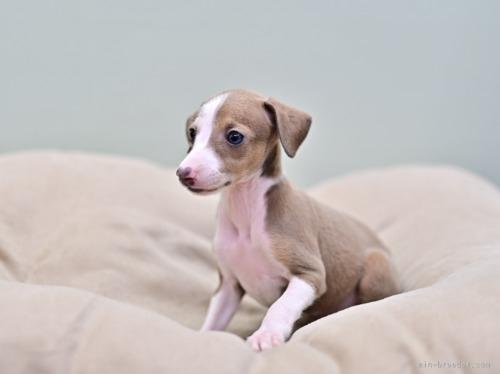 イタリアングレーハウンドの子犬(ID:1263011053)の2枚目の写真/更新日:2019-09-16