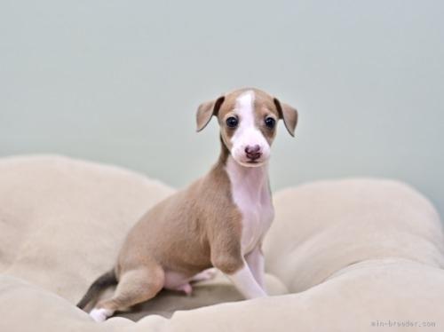 イタリアングレーハウンドの子犬(ID:1263011053)の3枚目の写真/更新日:2019-09-16