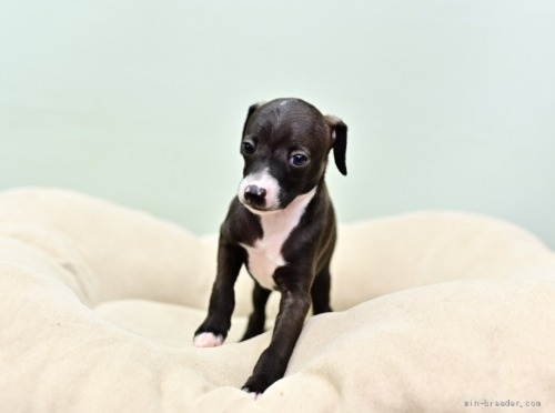 イタリアングレーハウンドの子犬(ID:1263011054)の3枚目の写真/更新日:2021-02-10