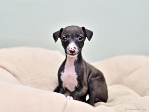 イタリアングレーハウンドの子犬(ID:1263011055)の3枚目の写真/更新日:2020-11-13