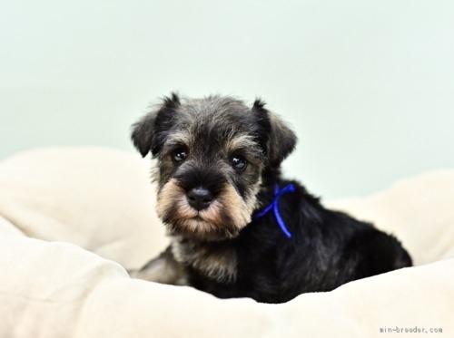 ミニチュアシュナウザーの子犬(ID:1263011056)の1枚目の写真/更新日:2018-07-09