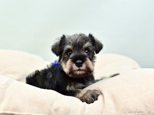 ミニチュアシュナウザーの子犬(ID:1263011056)の2枚目の写真/更新日:2019-11-08