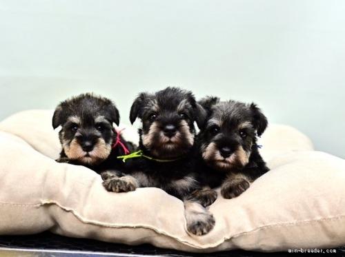 ミニチュアシュナウザーの子犬(ID:1263011056)の3枚目の写真/更新日:2019-11-08