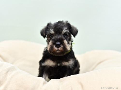 ミニチュアシュナウザーの子犬(ID:1263011057)の1枚目の写真/更新日:2018-07-09