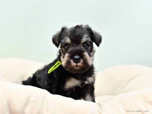ミニチュアシュナウザーの子犬(ID:1263011057)の2枚目の写真/更新日:2018-03-30