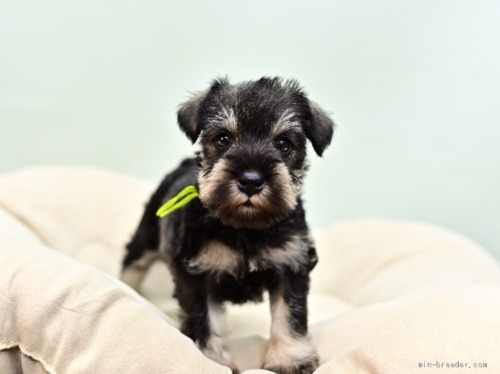 ミニチュアシュナウザーの子犬(ID:1263011057)の3枚目の写真/更新日:2018-07-09