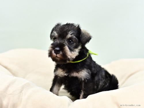 ミニチュアシュナウザーの子犬(ID:1263011057)の4枚目の写真/更新日:2018-07-09
