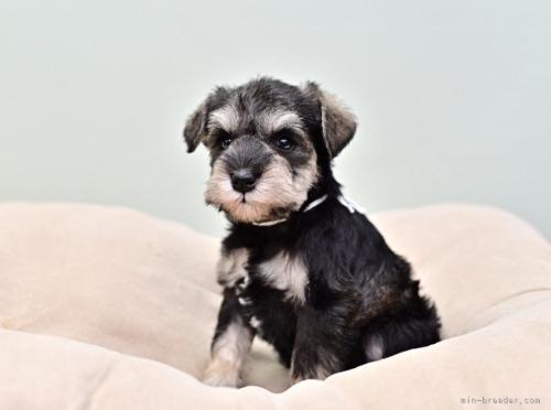 ミニチュアシュナウザーの子犬(ID:1263011058)の2枚目の写真/更新日:2018-03-30