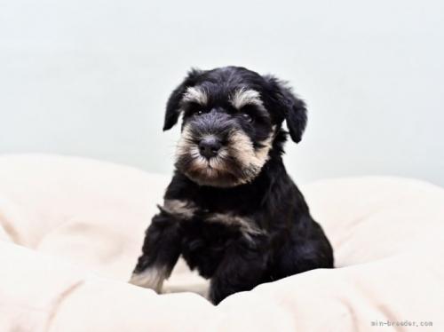 ミニチュアシュナウザーの子犬(ID:1263011059)の1枚目の写真/更新日:2018-03-30