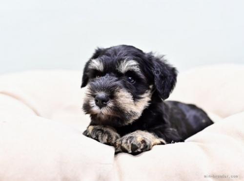 ミニチュアシュナウザーの子犬(ID:1263011059)の2枚目の写真/更新日:2019-11-08